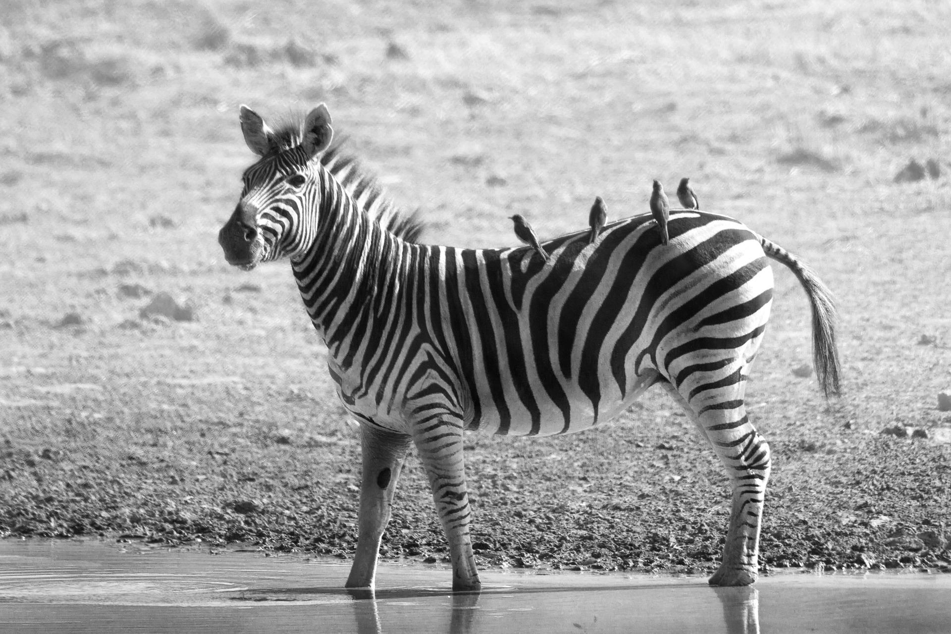 zebra-1169262_1920